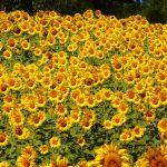 sunflowers-76119_1920